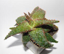Aloe Red Marmalad