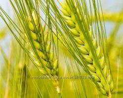 Косметическое чистое масло из зародышей пшеницы, холодный отжим, Франция