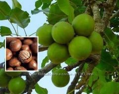 орешки Ши (карите)
