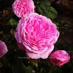 Свежеперётертое варенье из лепестков чайной розы, не варенное