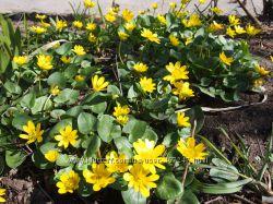 Первоцвет, многолетник красивоцветущий, чистяк весенний