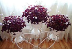 Оксалис, кислица фиолетовая комнатная