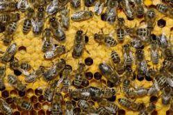 Бджоли на продаж, вулики, матки, сімї та мед 100  натуральний.