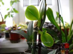 Цитокининовая паста -размножение орхидей и не только.