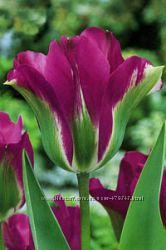 Луковицы тюльпанов сортовые