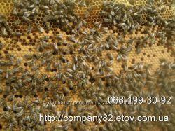 Пчелопакеты. Пчелиные матки плодные меченые Карпатка. Доставка