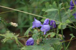 редкие растения для альпийских горок и рокариев