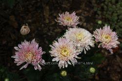 хризантемы корейские и мультифлора