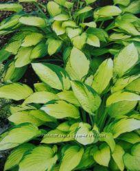 Растения для теневого сада - хоста