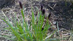 мискантусы и  другие многолетние травы
