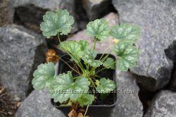 теневыносливые растения -  гейхеры