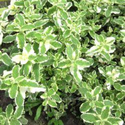 Пряноароматические растения для сада