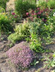 Многолетние цветы для Вашего сада. Прием заказов
