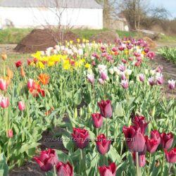 Тюльпаны смесь сортов 20 луковиц 1-3 разборы