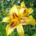 Лилейники Мелкоцветковые и Миниатюрные