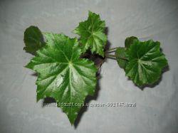 бегония декоративно лиственная