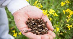 подмор пчелиный, цена за поллитровую банку