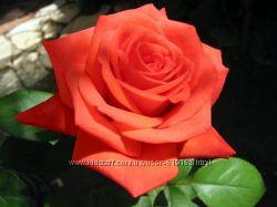 розы чайно-гибридные, вьющиеся