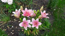 Лилия  розовая, крупный цветок