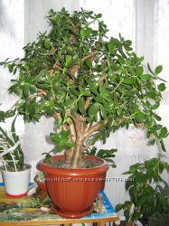 Денежное дерево Крассула в г. Буча