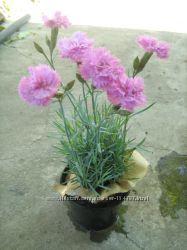 Гвоздика многолетняя садовая, шаровница-весна 2020