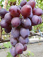 Виноград Эталон