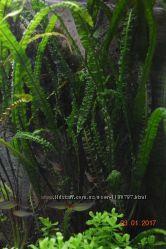 Акваріумні рослини погостемон, перистолістник, криптокорина, ехінодорус