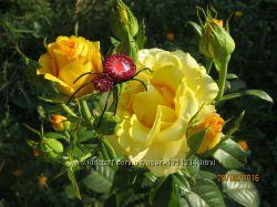 Брошки Павучки для екстримальних красунь