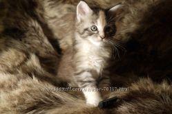 Котята мейн-куны от родителей-чемпионов